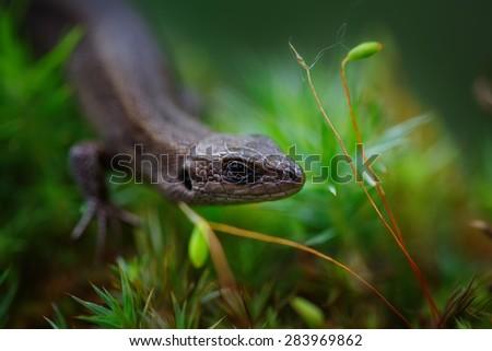 Sand Lizard (Lacerta agilis) on Green Moss close up - stock photo