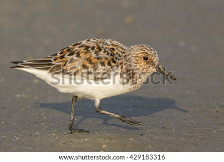Sanderling (Calidris alba) in summer plumage at the ocean beach, Galveston, Texas, USA. - stock photo