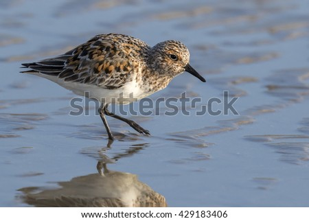 Sanderling (Calidris alba) in summer plumage at the ocean beach, Galveston, Texas, USA.