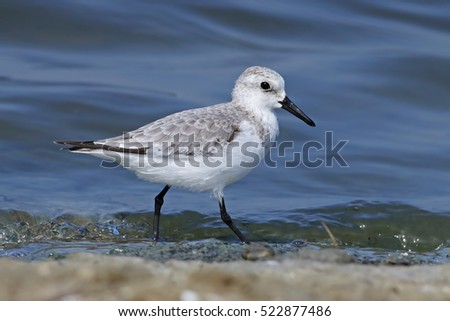 Sanderling Calidris alba Shorebird Bird in Salt farm
