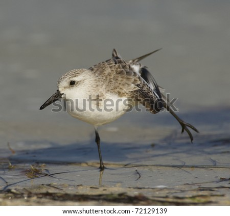 Sanderling, Calidris alba, stretching on brown or gray sandy beach