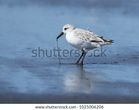 Sanderling with Worm