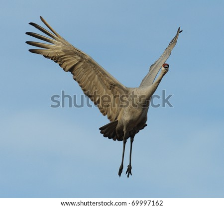 Sandhill Crane - stock photo