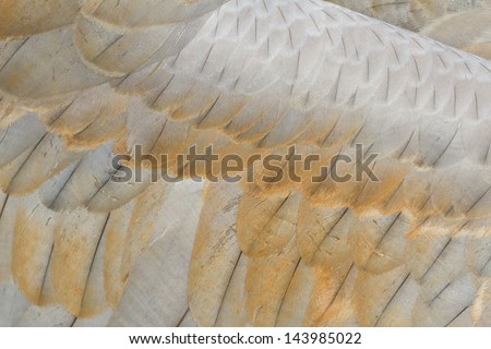 sandhill crane feather close up for background - stock photo