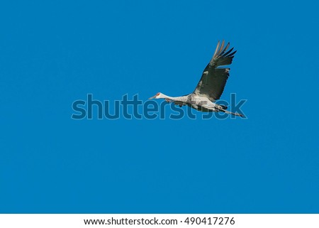 Sandhill Crane flying across a clear blue sky.