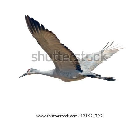 Sandhill crane flying, isolated on white background - stock photo