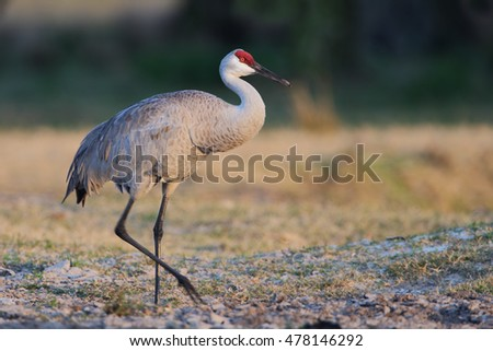 Sandhill Crane (Grus canadensis) walking in grass field, Kissimmee, Florida, USA