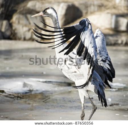 Sandhill crane(Grus cannadensis) in zoo - stock photo