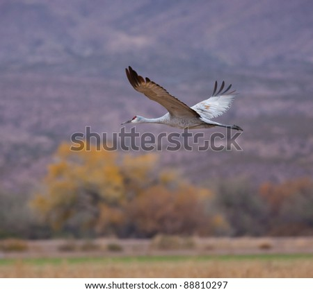 Sandhill Crane in Flight - stock photo