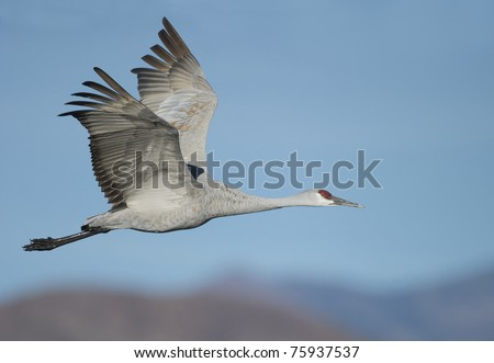 Sandhill Crane in flight with mountains in background - stock photo