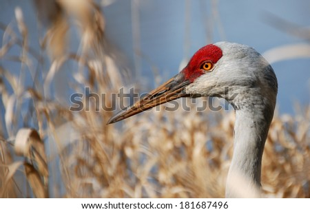 Sandhill crane in pond side vegetation. - stock photo