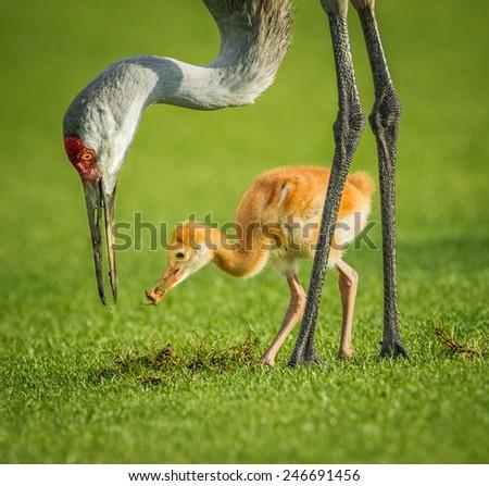 Sandhill crane mother feeding her chick - stock photo