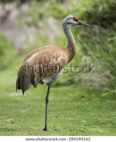 Sandhill Crane Standing on One Leg