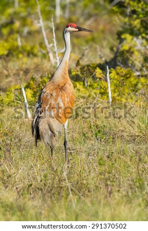 Sandhill Crane walking and foraging in the long grass. - stock photo