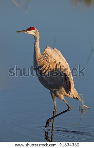 Sandhill crane with wings stretched wide - stock photo