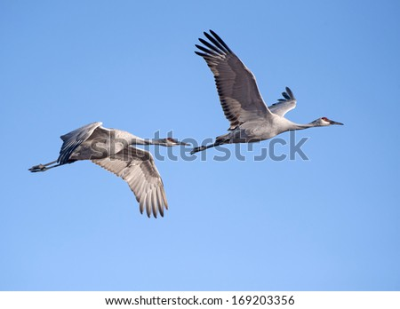 Sandhill Cranes at Bosque Del Apache - stock photo