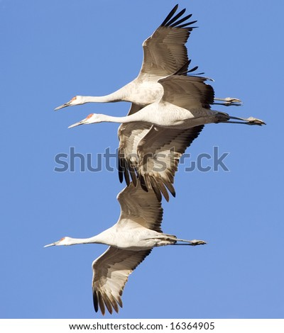 Sandhill cranes flying - stock photo
