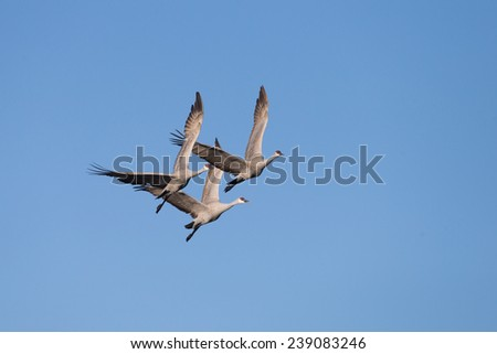 Sandhill cranes flying at Bosque del Apache National Wildlife Refuge in San Antonio New Mexico - stock photo