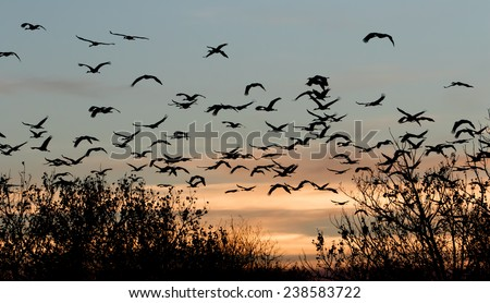 Sandhill Cranes flying to roost at twilight in the Bernardo Waterfowl Management Area at Bernardo, New Mexico - stock photo