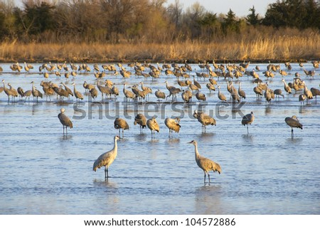 Sandhill cranes in the Platte River waking up and grooming on a sunny spring morning - stock photo