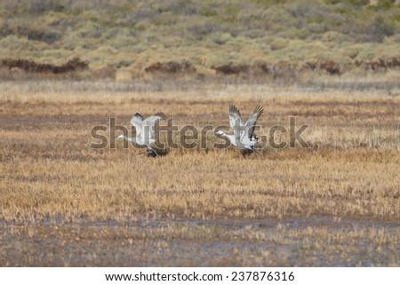 Sandhill cranes taking off at Bosque del Apache National Wildlife Refuge in San Antonio New Mexico - stock photo