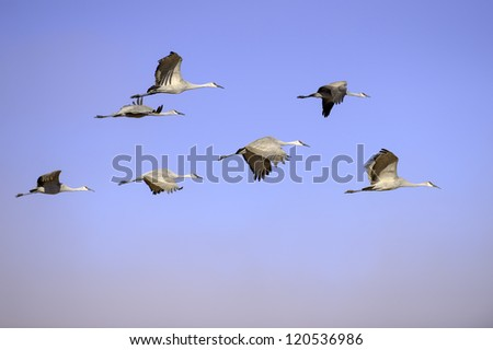 Sandhill cranes were flying against the blue sky with morning fog at Bosque del Apache national wildlife refuge in New Mexico. - stock photo