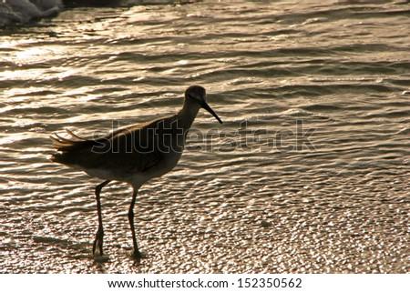 Sandpiper in Shallow Ocean Water at Sunset Sanibel Florida Beach - stock photo