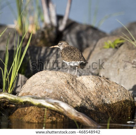 Sandpiper on Rock