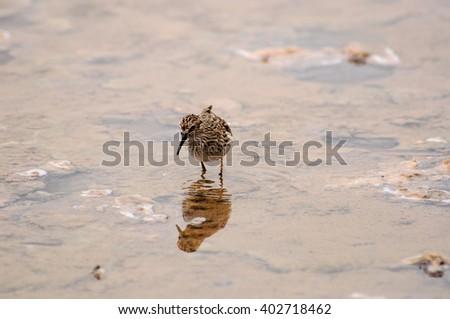Sandpiper on the shore line - stock photo