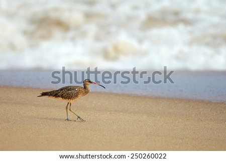Sandpiper walks and hunts on the ocean shore - stock photo