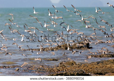 Sandpipers birds flying on a rocky coastline in Thailand - stock photo