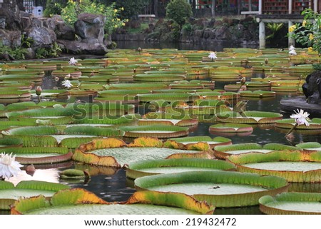 Santa Cruz waterlily flower buds and leaves in the pond - stock photo