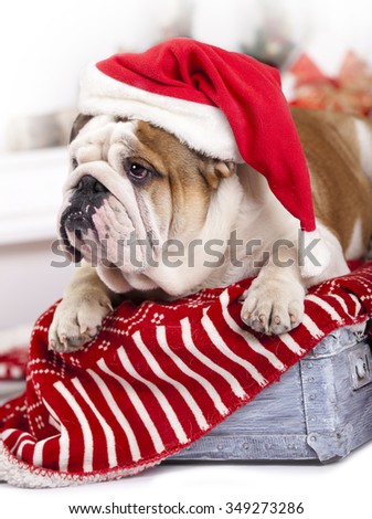 santa dog - english bulldog wearing santa hat - stock photo
