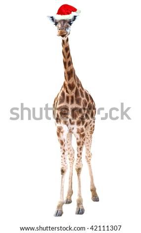 Santa giraffe - stock photo