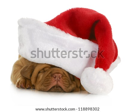santa puppy - dogue de bordeaux puppy wearing santa hat - 4 weeks old - stock photo