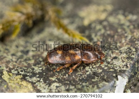 Sap beetle, Epuraea guttata on wood, close-up with high magnification and shallow depth of field, focus on eyes
