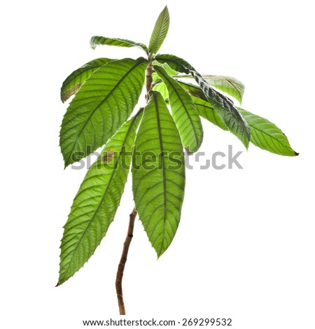 sapling medlar isolated on a white background - stock photo