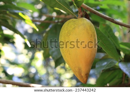 Sapodillas India on tree