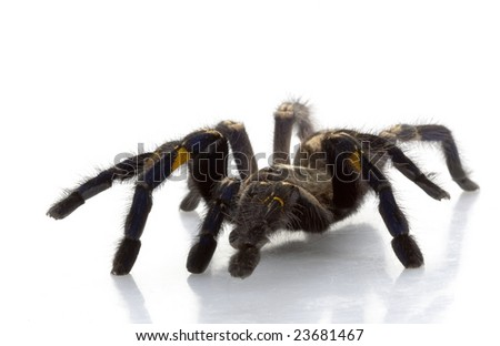 Sapphire Ornamental Tarantula (Poecilotheria metallica) isolated on white background.