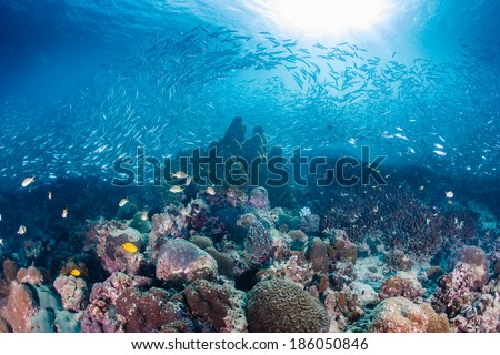 Sardines flow across a shallow coral reef - stock photo
