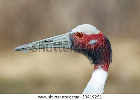 Sarus Crane Close Up - stock photo