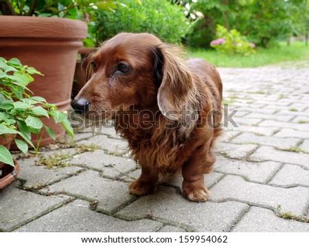 sausage dog - stock photo