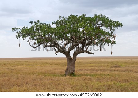Sausage Tree (Kigelia) on Savanna landscape in Africa