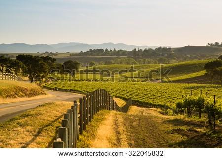 Sauvignon Blanc Grapevines On Roadside - stock photo
