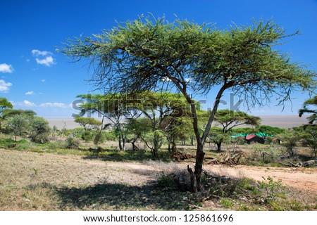 Savanna landscape, acacia trees in Africa, Serengeti, Tanzania. - stock photo