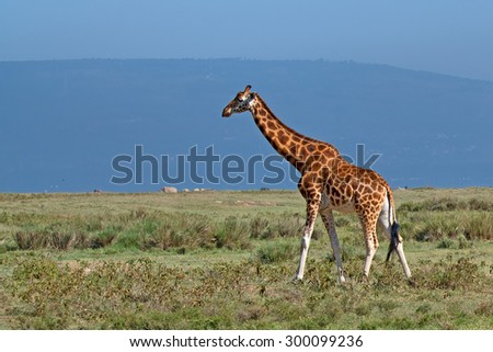 Savanna landscape with ugandan giraffe ( Giraffa camelopardalis rothschildi ) and rhinos - stock photo