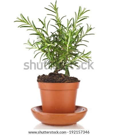 Savory fresh herb rosemary growing in brown flower pot isolated on white