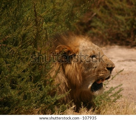 sawgrass lion 1,04 - stock photo