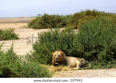 sawgrass lion 2,04 - stock photo