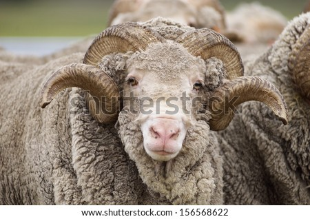 Saxon Merino Rams. Saxon wool is the highest quality superfine wool in the world - stock photo